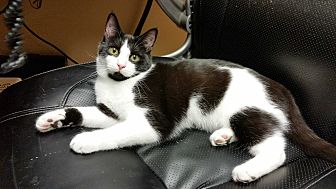 Domestic Shorthair Kitten for adoption in Mt. Airy, North Carolina - Laila Ali