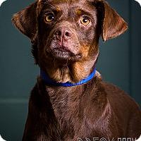 Adopt A Pet :: Holly - Owensboro, KY