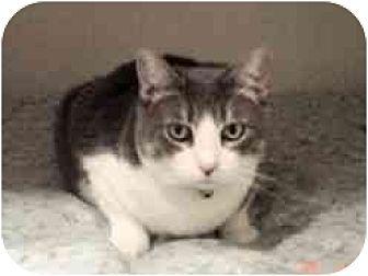 Domestic Shorthair Cat for adoption in Pasadena, California - Marmee