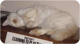Siamese Cat for adoption in Franklin, North Carolina - Hermione