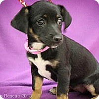 Adopt A Pet :: Tinker - Broomfield, CO