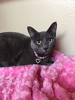 Russian Blue Cat for adoption in Houston, Texas - Jana
