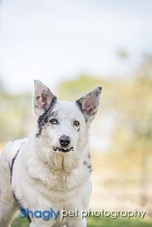 Australian Cattle Dog Dog for adoption in McKinney, Texas - Magic Piglet