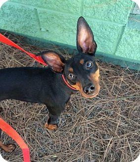 Miniature Pinscher Dog for adoption in Oceanside, California - Poco