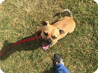 Pug/Chihuahua Mix Dog for adoption in Lockhart, Texas - Tito