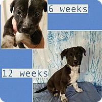 Adopt A Pet :: Gertie-pending adoption - Manchester, CT