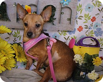 Chihuahua Mix Dog for adoption in San Antonio, Texas - Whisper