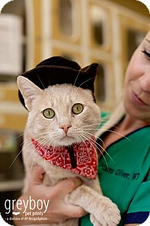Domestic Shorthair Cat for adoption in Mission Viejo, California - Stanley