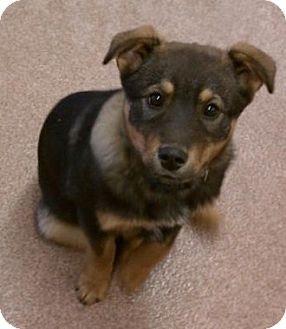 Shepherd (Unknown Type)/Border Collie Mix Puppy for adoption in North Olmsted, Ohio - Adie