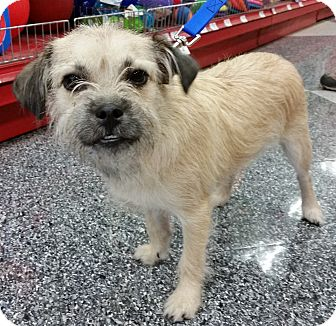 Cairn Terrier Mix Puppy for adoption in Phoenix, Arizona - Simon