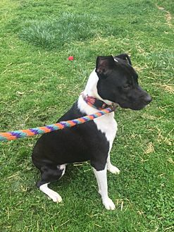 Labrador Retriever/Jack Russell Terrier Mix Dog for adoption in Earl, North Carolina - Josie