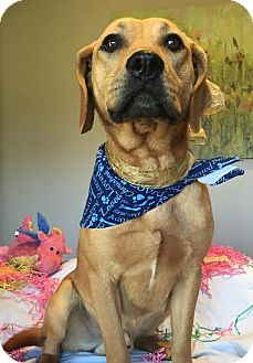 Labrador Retriever Mix Dog for adoption in Knoxville, Tennessee - JETHRO