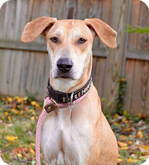 Greyhound/Labrador Retriever Mix Dog for adoption in Bedminster, New Jersey - Bonnie