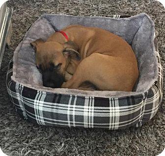 Labrador Retriever Mix Puppy for adoption in ROSENBERG, Texas - Lucas (Cassidy (Pup C))