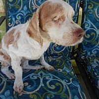 Cocker Spaniel Dog for adoption in Kannapolis, North Carolina - Buffy -Please Sponsor Me!