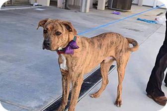 Boxer/Plott Hound Mix Dog for adoption in Fairfax, Virginia - Charley