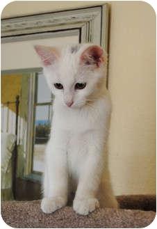 Turkish Van Cat for adoption in Palmdale, California - Frannie