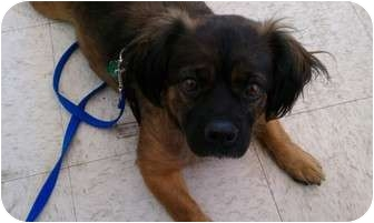 Pekingese Mix Dog for adoption in Hales Corners, Wisconsin - Maggie