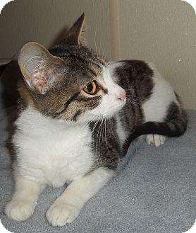 Domestic Shorthair Kitten for adoption in Witter, Arkansas - Bitzy