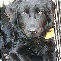 Adopt A Pet :: Bear - Arlington, TX