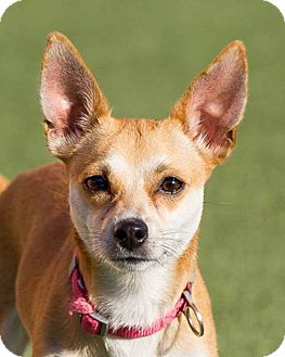 Chihuahua Mix Dog for adoption in Dallas, Texas - Sophie