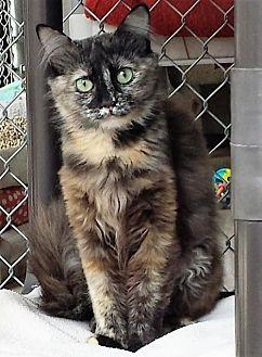Domestic Mediumhair Cat for adoption in Seal Beach, California - Iris