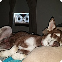 Adopt A Pet :: Sasha - Flemington, NJ
