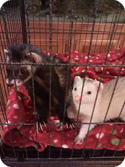 Ferret for adoption in Navarre, Florida - Mickey