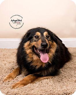 Australian Shepherd/German Shepherd Dog Mix Dog for adoption in Cincinnati, Ohio - Casey