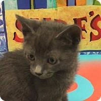 Domestic Shorthair Kitten for adoption in Savannah, Georgia - Blue
