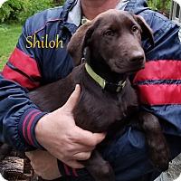 Adopt A Pet :: Shiloh - Milford, NJ