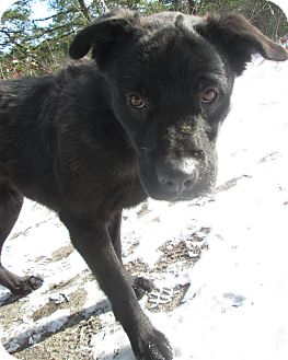 Labrador Retriever Mix Dog for adoption in Forked River, New Jersey - Stella