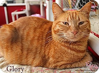 Domestic Shorthair Cat for adoption in St Louis, Missouri - Glory