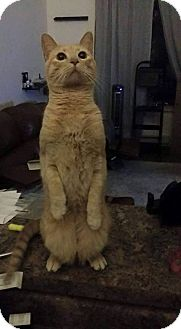 Domestic Shorthair Cat for adoption in Chino Hills, California - Taffy (Quiet & Sweet!)