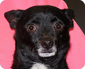Chihuahua Mix Dog for adoption in Spokane, Washington - Tucker