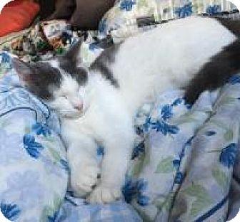 American Shorthair Kitten for adoption in Sedalia, Missouri - Collin