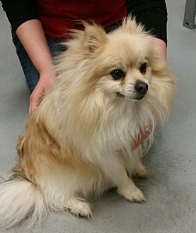 Pomeranian Dog for adoption in Crescent, Oklahoma - Nikki