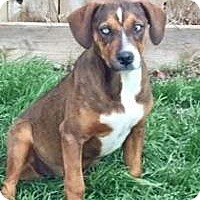 Adopt A Pet :: Iris - McKinney, TX