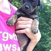 Adopt A Pet :: 11 Puppies need FOSTER ASAP - Acworth, GA
