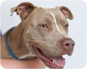 American Pit Bull Terrier Mix Dog for adoption in Orlando, Florida - Mya