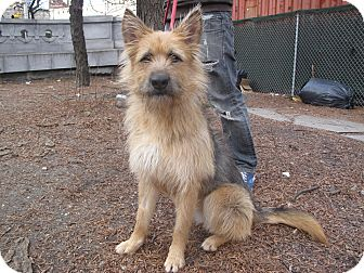 Airedale Terrier/Terrier (Unknown Type, Medium) Mix Dog for adoption in New York, New York - Sophie