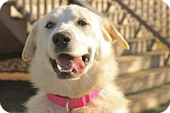 Labrador Retriever/Shepherd (Unknown Type) Mix Dog for adoption in Brattleboro, Vermont - Violet