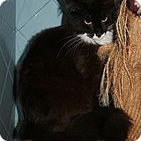 Domestic Longhair Cat for adoption in Santa Rosa, California - Mistletoe
