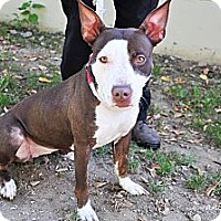 Adopt A Pet :: Bella - East Rockaway, NY