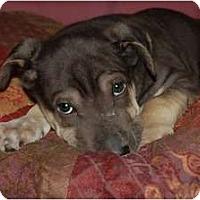 Adopt A Pet :: Wiggles - Chula Vista, CA