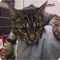 Adopt A Pet :: Tigerlily - Modesto, CA