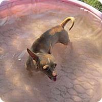 Adopt A Pet :: Precious - Copperas Cove, TX