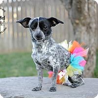 Adopt A Pet :: Sydney-Adoption pending - Bridgeton, MO