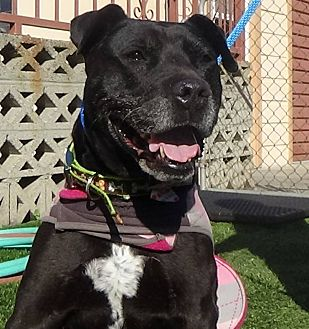 German Shepherd Dog/Pit Bull Terrier Mix Dog for adoption in Inglewood, California - West Anne