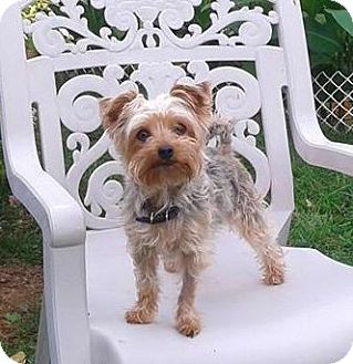 Yorkie, Yorkshire Terrier/Toy Poodle Mix Dog for adoption in Mississauga, Ontario - Izzy-adoption pending
